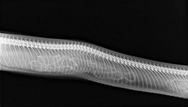 Hamile hayvanlar X-Ray cihazında nasıl görünüyor? - Page 1