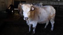 Klon sığırlar 'torun' sahibi oldu