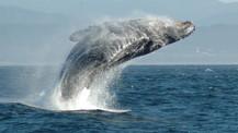 Ölen balinanın midesinden 29 kilo atık çıktı!