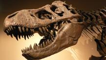 Tek yavru T-Rex fosili satışa çıktı!