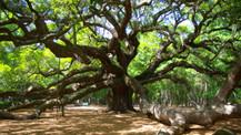 Tarihi ağacı söktü 586 bin dolar ceza yedi!
