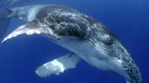 Bu da oldu! Türkiye'de dünyanın en büyük ikinci balinası göründü