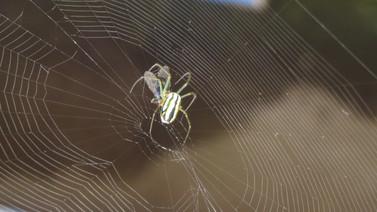 Süt veren bir örümcek türü keşfedildi!