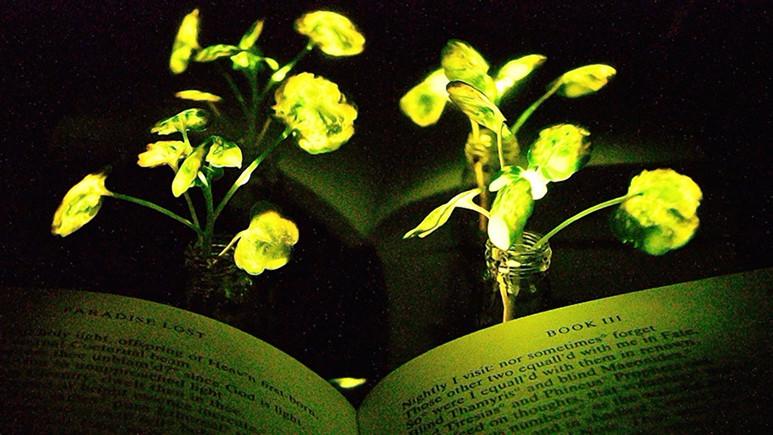 Işık saçan bitki icat edildi!