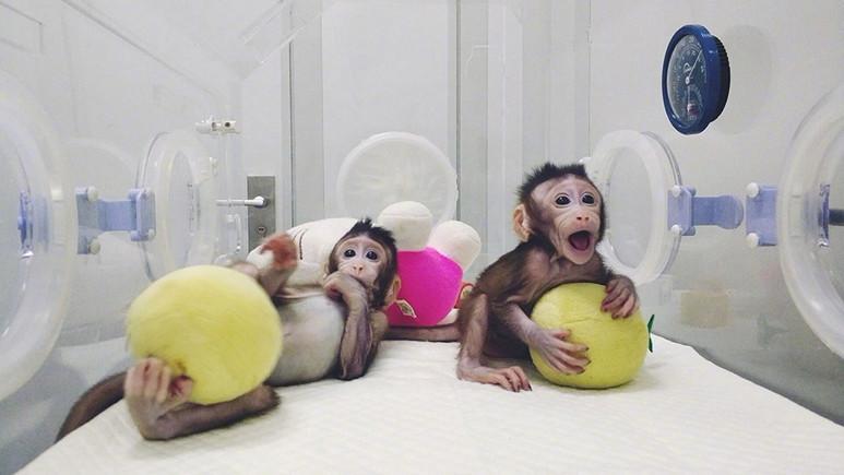 Çin'de maymun klonlandı!