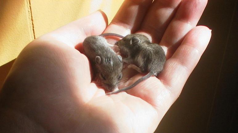 İki anneli fare dünyaya getirildi!