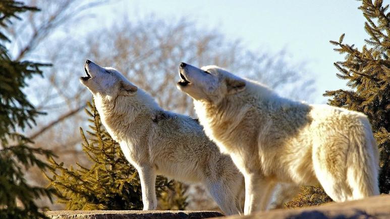 Köpekler neden siren seslerine duyarlılar?