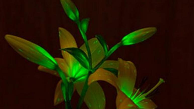 Işık saçan bitkiler gelecekte evlerimizi aydınlatacak!