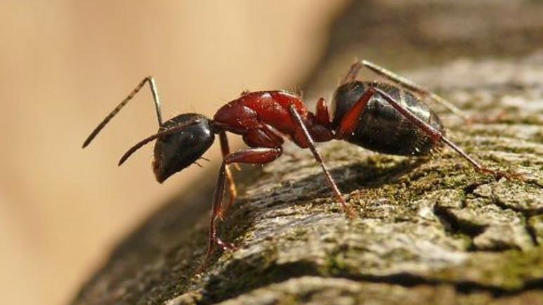 Karınca zinciri bilim dünyasını hayrete düşürüyor! [Video]
