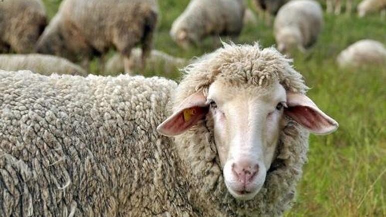 Koyunlar sandığınızdan daha zekiler!
