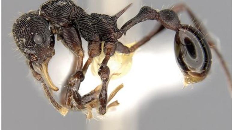 Kurbağanın midesinden yeni bir karınca türü çıktı!