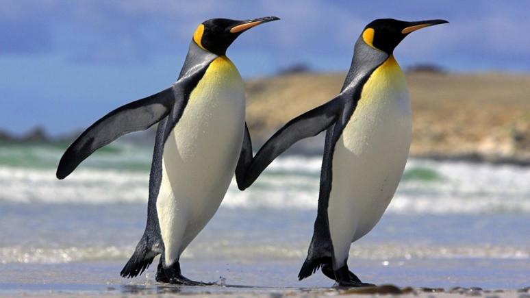 Dev penguen fosili bulundu!