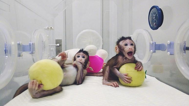 Çin maymun klonladı!