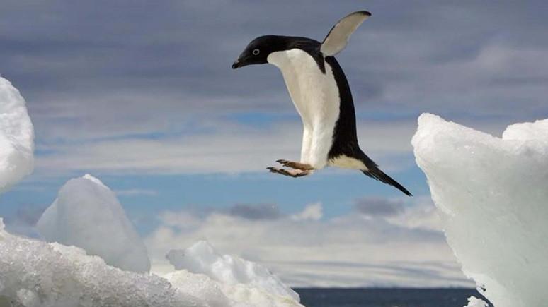 Soyları tükeniyor sanılan penguenler saklanıyormuş!