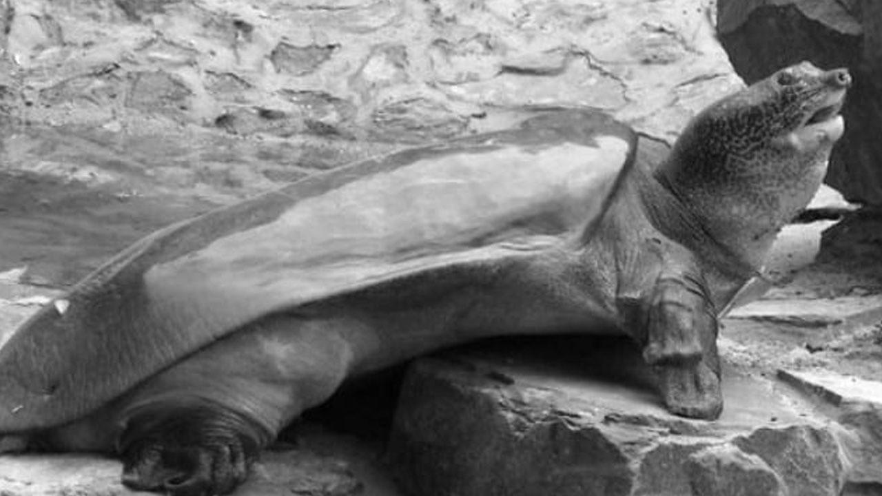 Son dişi Yangtze kaplumbağası öldü!