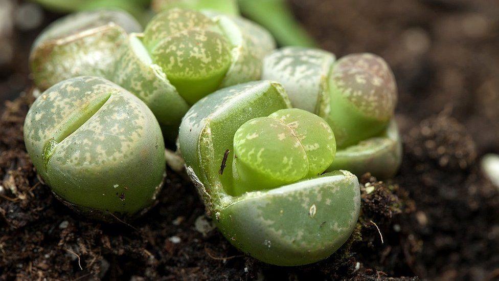 Mars'ta bile canlı kalabilen dünyanın en dayanıklı bitkileri! - Page 3