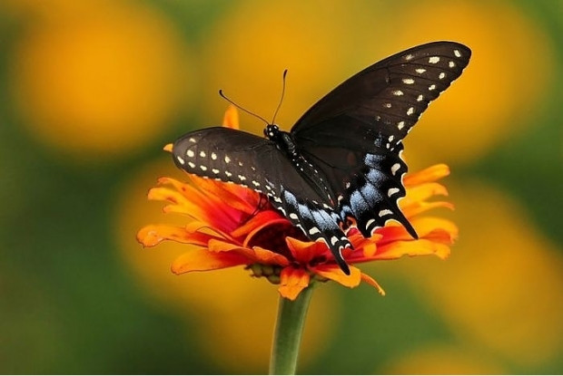19 kelebek türünün metamorfozdan önceki ve sonraki halleri - Page 4