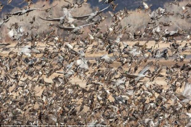 2016 Audubon Fotoğraf Yarışması'nın kazananları - Page 4