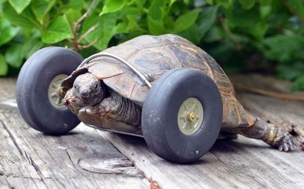 90 yaşındaki kaplumbağanın bacaklarına protez takıldı! - Page 3