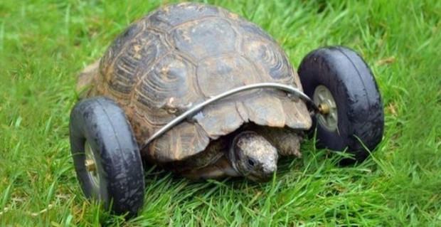 90 yaşındaki kaplumbağanın bacaklarına protez takıldı! - Page 1