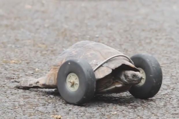 90 yaşındaki kaplumbağanın bacaklarına protez takıldı! - Page 2