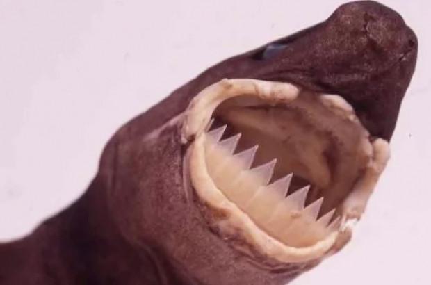 Aşırı acayip dişlere sahip 10 sualtı canlısı - Page 2
