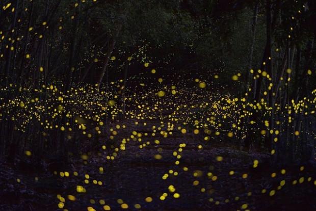 Ateşböceklerinin büyüleyici fotoğrafları - Page 3