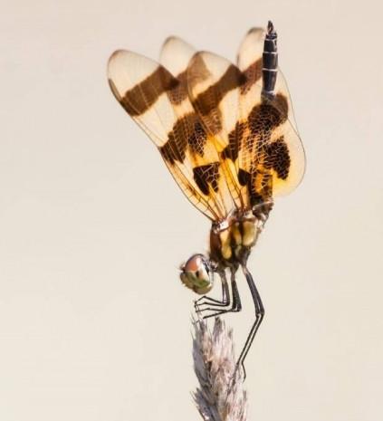 Bakınca hipnotize olacağınız 10 yakın çekim helikopter böceği - Page 1