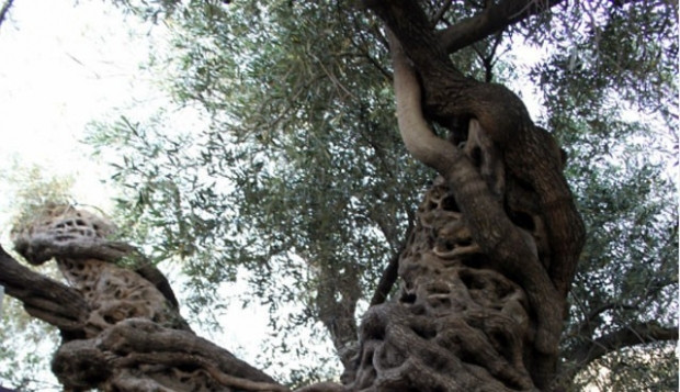 Bu ağaç 1350 yaşında ! - Page 1