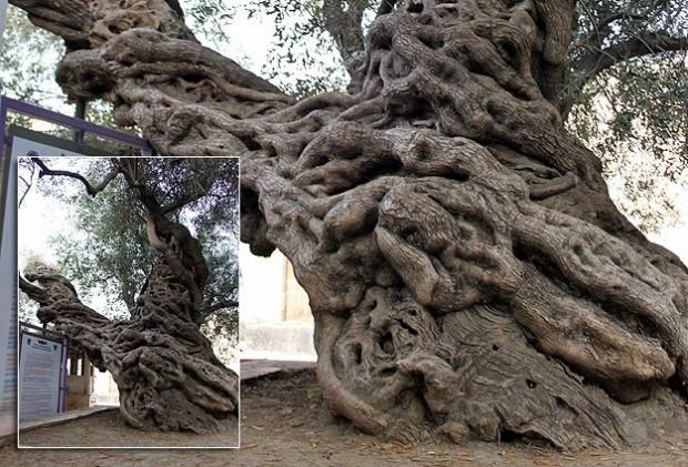 Bu ağaç 1350 yaşında ! - Page 2