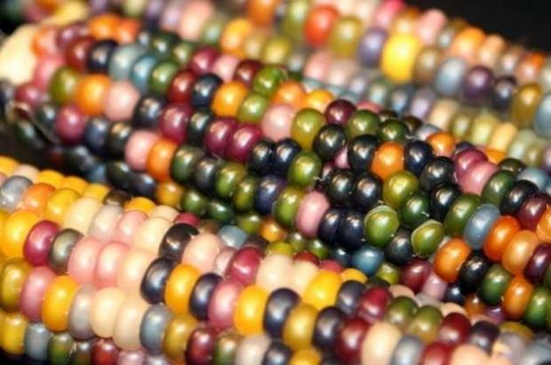 Cam mısır olarak adlandırılan renkli mısırın bir hikayesi - Page 4