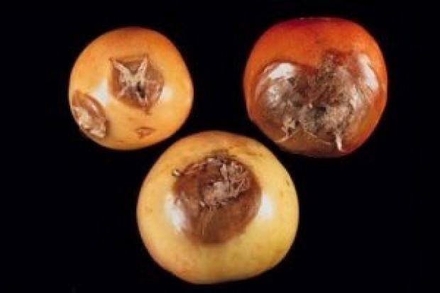 Çürüyen meyveler neden kahverengi olur? - Page 1