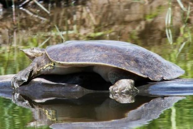 Daha önce hiç görmediğiniz kaplumbağa türleri - Page 4