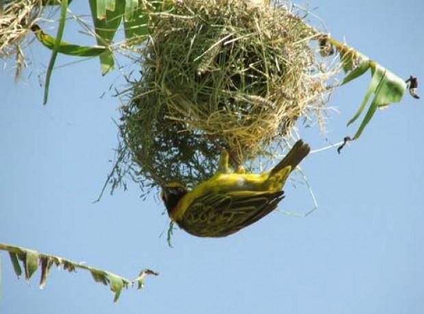 Doğuştan mimar olan kuşların şaheserleri - Page 1