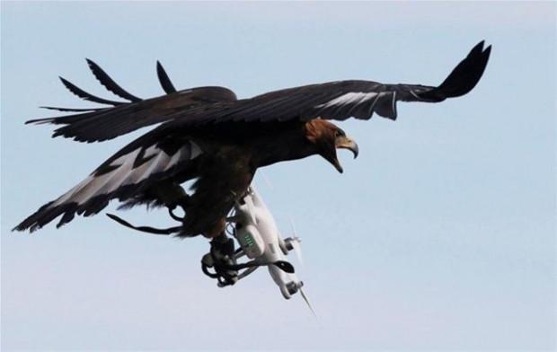Drone avlaması için Kartallar eğitiliyor! - Page 1