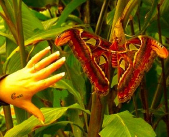 Dünyanın en büyük böcekleri - Page 2