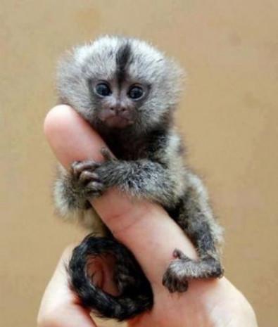 Dünyanın en küçük maymunu - Page 3