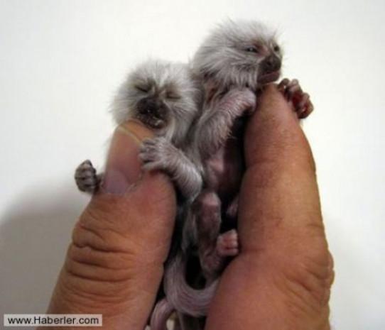 Dünyanın en küçük maymunu - Page 4