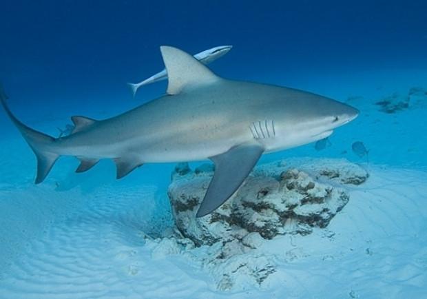 Dünyanın en tehlikeli 7 köpekbalığı - Page 2
