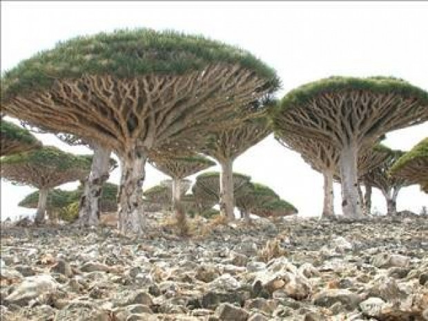 Dünyanın en tuhaf ağaçları - Page 2