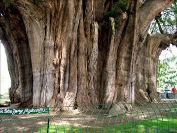 Dünyanın en tuhaf ağaçları - Page 3
