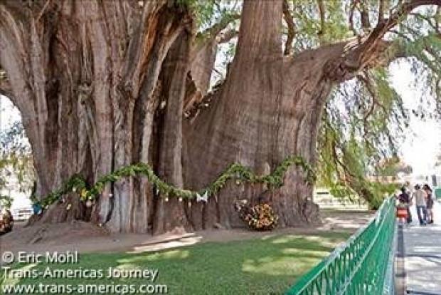 Dünyanın en tuhaf ağaçları - Page 4