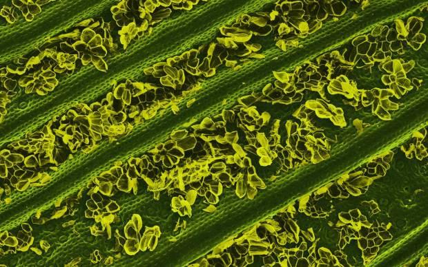 Elektron mikroskobunda yiyeceklerin muhteşem görüntüleri! - Page 1