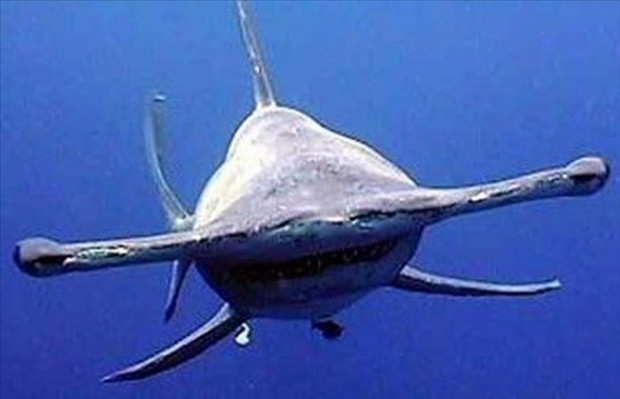 En ilginç ve tuhaf köpekbalıkları - Page 1