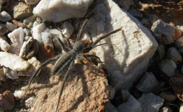 En tehlikeli örümcek türleri! - Page 2