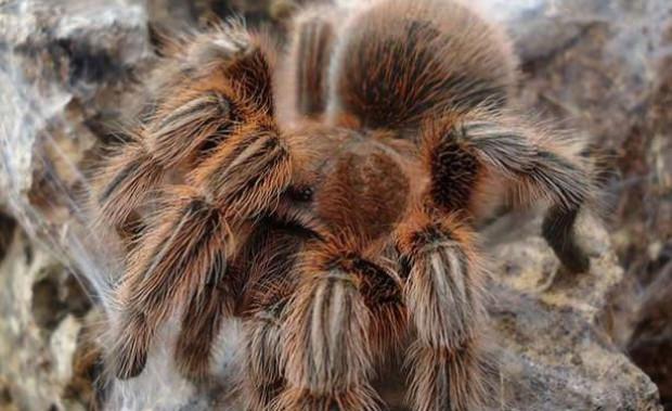 En tehlikeli örümcek türleri! - Page 3