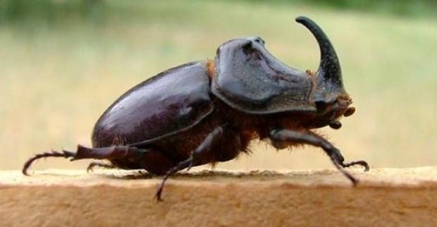 Gergedan böceği hakkında gerçekler - Page 4