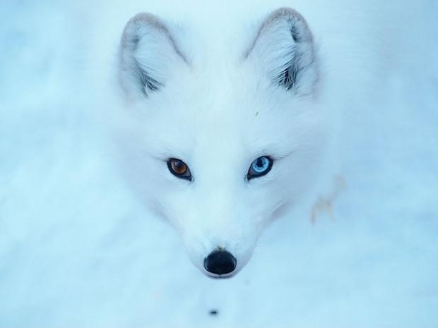 Gözleri birbirinden farklı renkte olan sevimlilikleri kat kat artmış 19 hayvan - Page 1