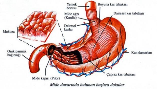 Hangi organ ne kadar sürede yenileniyor? - Page 4