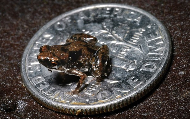İşte dünyanın en küçük kurbağası - Page 2